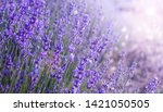 close up bushes of lavender... | Shutterstock . vector #1421050505