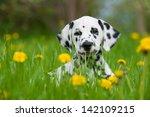 Stock photo dalmatian dog 142109215