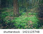 spring forest with white carpet ... | Shutterstock . vector #1421125748