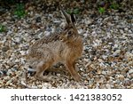 Stock photo brown hare in countryside hop 1421383052