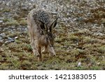 Stock photo brown hare in countryside hop 1421383055