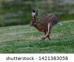 Stock photo brown hare in countryside hop 1421383058