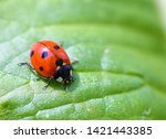 Close Up Image Of A Ladybird O...