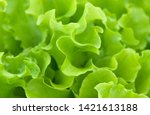 close up lettuce salad leaves... | Shutterstock . vector #1421613188