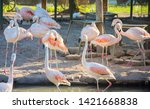 greater flamingo ... | Shutterstock . vector #1421668838