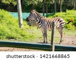 zebra in the aviary in the zoo | Shutterstock . vector #1421668865