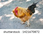 cock on the farm in zoo | Shutterstock . vector #1421670872