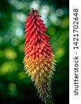 Redhot Poker Flower Blossom ...