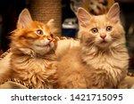 Stock photo cute little red kittens breed kurilian bobtail pets short tailed breed of cats felis catus 1421715095