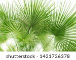 green palm leaf  leaves  on...   Shutterstock . vector #1421726378