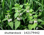 Dead Nettle Blooming At Spring