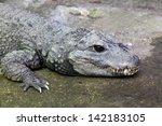 A West African Dwarf Crocodile in captivity