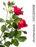 Stock photo flowers of climbing rose isolated on a white background 142183408