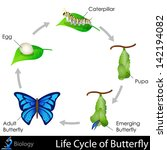 easy to edit vector illustration of Lifecycle of Butterfly diagram