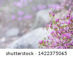 pink flowers of rhododendron...   Shutterstock . vector #1422375065
