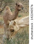 camel and baby  calf  eating... | Shutterstock . vector #142240576
