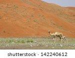 camel and baby  calf  wondering ... | Shutterstock . vector #142240612