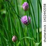 Small photo of Chives, Allium schoenoprasum is a small bulbous perennial which is commonly used as a culinary herb to impart mild onion flavor to many foods, including salads, soups, vegetables and sauces.