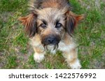 a small shaggy red dog with... | Shutterstock . vector #1422576992