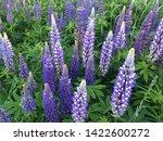 flowering blue lupine field in... | Shutterstock . vector #1422600272