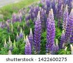 flowering blue lupine field in... | Shutterstock . vector #1422600275