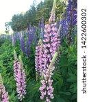 flowering blue lupine field in... | Shutterstock . vector #1422600302