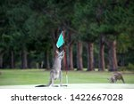 Kangaroo On A Golf Course In...