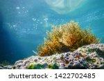 Seaweed  Seaweed Underwater ...