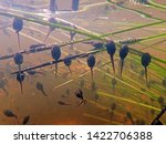Underwater shot of toad tadpoles. Underwater close-up of tadpoles