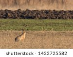 Stock photo european brown hare lepus europeaus hiding in field spring time 1422725582