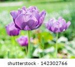 violet tulips   Shutterstock . vector #142302766