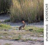 Stock photo african hare in amboseli national park kenya 1423053245