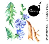 watercolor hand drawn chicory... | Shutterstock . vector #1423091438