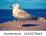 single sea gull at the pier ... | Shutterstock . vector #1423275665