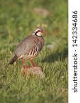 Small photo of Red-legged partridge, Alectoris rufa, single bird standing on a rock, Portugal, March 2010