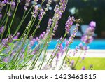 lavender growing on villa house ... | Shutterstock . vector #1423461815