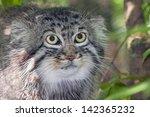 Portrait Of A Pallas's Cat Or...