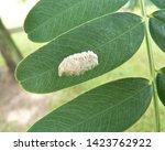 Moth Eggs On Tipuana Tipu Leaf...