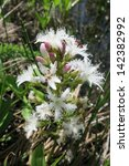 menyanthes trifoliata or... | Shutterstock . vector #142382992