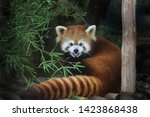 Red Panda Or Its Scientific...