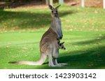Australia Kangaroo Mother And...