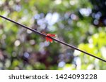 Dragonfly Sitting On Wire  Red...