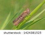 close up of grasshopper sitting ...   Shutterstock . vector #1424381525