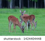 Whitetail Deer Herd With A Buc...