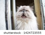 portrait of a shaggy cat with... | Shutterstock . vector #1424723555