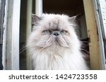portrait of a shaggy cat with... | Shutterstock . vector #1424723558