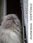 portrait of a shaggy cat  | Shutterstock . vector #1424723612