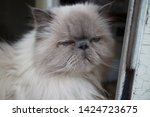 portrait of a shaggy cat with... | Shutterstock . vector #1424723675