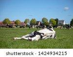 Cow Takes A Power Nap ...