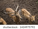 sika or sportted deer at the...   Shutterstock . vector #1424975792